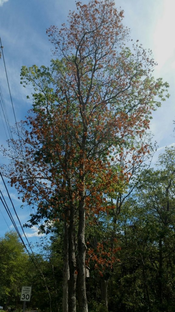 infected tree in Islip