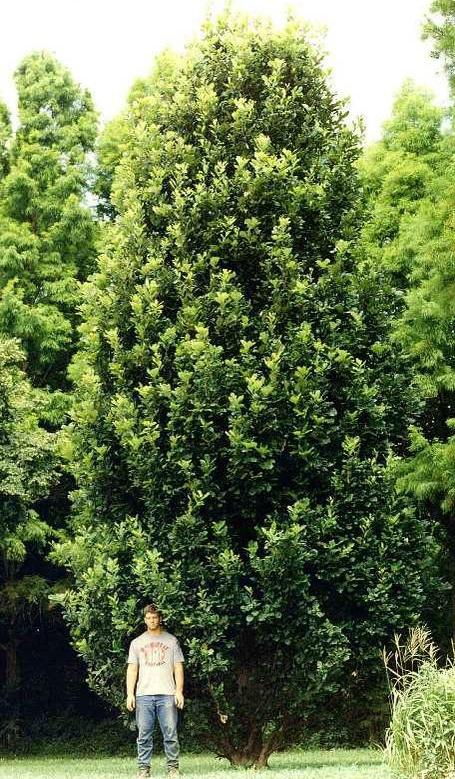 Regal Prince moving towards maturity. Photo courtesy Missouri Botanical Garden